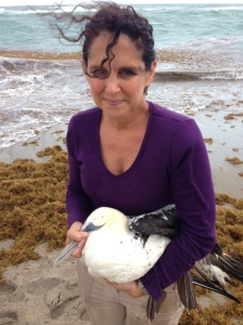 Northern Gannet rescued at Bathtub Beach 2-12-14