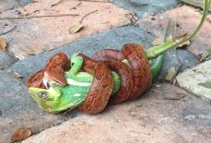 Common orange rat snake and Knight Anole in a life or death struggle, Sewall's Point. (Photo by Nina B, 2014.)