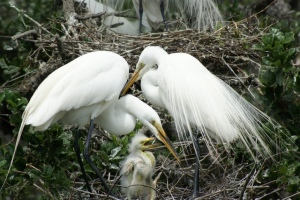 Snowy egret family. Parents in full plumage. (Public photo.)