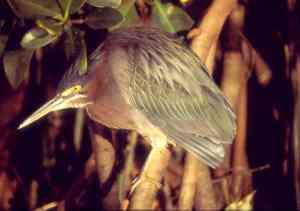 Green heron -GBraun