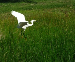 This snowy egret was visiting the retention pond across form Indialucie in Sewall's Point. This plume bird was the most hunted during the 1800s and lost up to 95 percent of its population. They have made a comeback. (Photo Sandra Thurlow, 2014.)