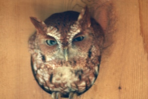 mom owl nesting box