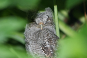 "A baby screech owl sleeps in a tree the morning after its ""bib jump."" (Photo Jacqui Thurlow-Lippisch, 2014.)"