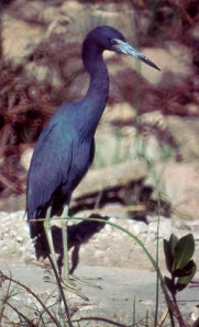 Little Blue Heron - GBraun