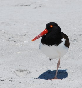 Oystercatcher on beach - GBraun