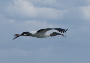 Wood Stork w nesting material near MC-2 Braun