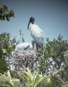 Wood stork w nestling at MC-2 - GBraun