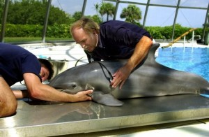 A sick dolphin is assessed by Dr Gregory Bossert at HBOI. (Photo Brian Cousins)