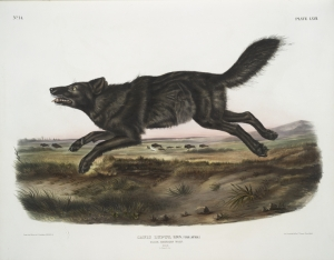 Scientific drawing, 1800s, Florida Black Wolf. I don't quite get the buffalo in the background! But you get the idea!:) (Wikipedia)