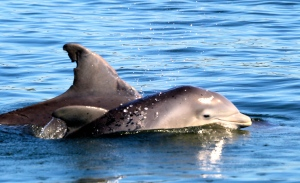 Clover the baby dolphin next to mother, Shamrock, May, 2014, Crossroads, SLR/IRL. (Photo Nic Mader, Dolphin Ecology Project.)