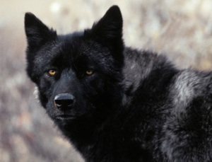 The black wolf once roamed the shores and surrounding lands of the Indian River Lagoon, becoming extinct in 1883. (Photo public files.)