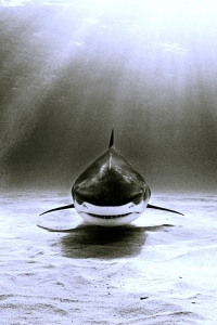 Adult bull shark. (Public photo/Pinecrest.)