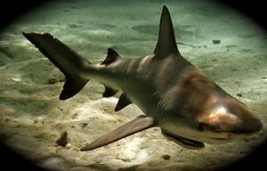 Baby bull shark navigates shallow waters. (Photo public files.)