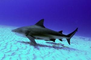 """Adult bull shark swimming. (Public photo for """"wallpaper."""" )"""