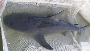 Netted bull shark juvenile to be studied and returned to the IRL. (Public photos)
