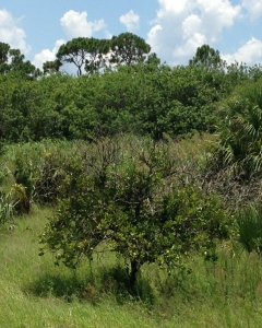 A diseased citrus tree stands in what was once a thriving orange grove. (Photo JTL)