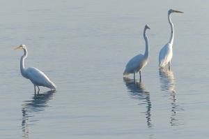 Great Egrets, IRL. John Whiticar.