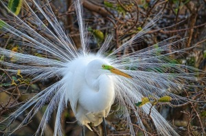 Great Egret in breeding plumage. Public photo.