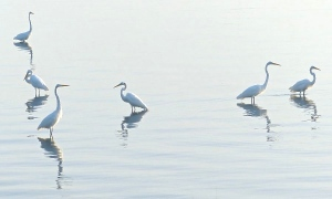 Great Egrets along the Indian River Lagoon. Photo John Whiticar, 8-20-24.