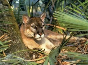 The beautiful Florida panther. (Public photo.)