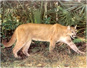 The range of the Florida Panther used to include the Treasure Coast. (Public photo.)