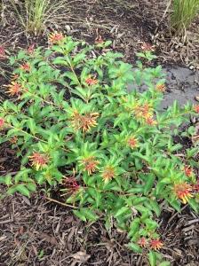 Native plants inside rain garden. Firebush.
