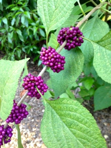 Native Beautyberry provides food for wildlife and color.