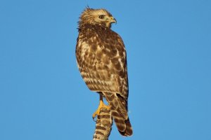 Juvenile hawk, North River Shores, 11-1-14. (Photo Todd Thurlow.)