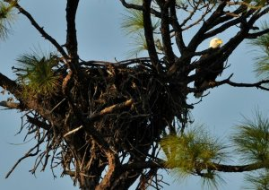 Eagle nests are the largest nests known.