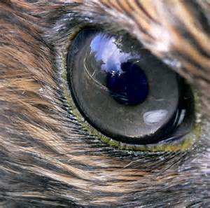 Close up of hawk eye. Public photo.