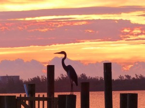 Blue Heron silhouetted against sunrise, St Lucie River.