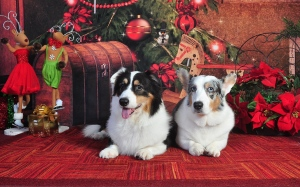 Baron and Bo wish you and your family and Merry Christmas, Happy Holidays and and Happy New Year!