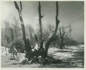 Old tree... (Whiticar, ca. 1960s)