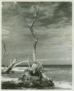 Old tree....(Whiticar ca. 1960s)