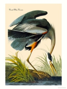 "James Audubon's ""Great Blue Heron"" ca. 1800s. (Public photo)"