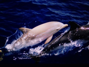 An albino Atlantic bottlenosed dolphin calf with its mother, photographed  by Flicker's Natalia Tsoukala, 2014.