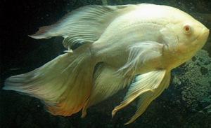 albino fish