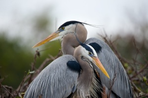 Blue herons together in nest. Photo by Paul Shidel     2015.