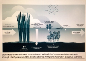 STAs or Storm Water Treatment Areas take up phosphorus through aquatic plants. The dirty storm water from agriculture and development must be cleaned before it reaches the Everglades. (Image SFWMD, 2014)