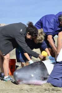 High school student and fire rescue volunteer, Chase Franco and I sponge sea water onto the whale to keep its skin moist in the hot sun. (Photo used with permission from Ginny Beagan, Scripps Newspapers, 2015.)