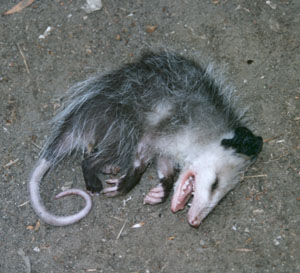 "Even baby opossums ""play opossum,"" it is genetically wired...(Public photo/real experience.)"