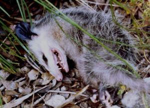 Opossum feigning death...(Public photo)