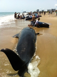 22 pilot whales stranded along Avalon Beach in September of 2002. (Photo JTL)