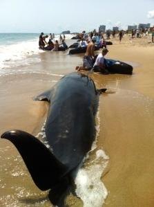 22 pilot whales stranded along Avalon Beach in September of 2002. (Photo JTL)