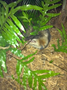 Opossum pretending it is dead in our ferns. (Photo JTL, 2011.)