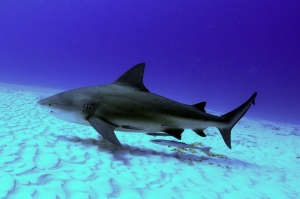 Bull Shark. (Public photo)