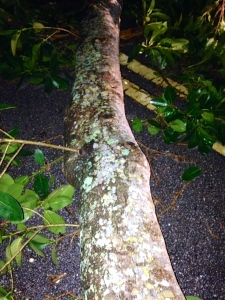 Limb of tree. One of many that came down in the storm. (Photo JTL)
