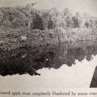 Photo from Swamp to Suagrland, showing pond apple with moon vines around Lake O. (Lawrence E Will)