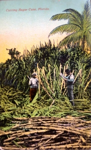 Historic postcard, ca.1900 sugarcane in Florida, from the Thurlow Collection.
