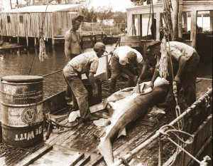 Shark fishermen, Port Salerno, Florida, Martin County, ca 1940s/1950s. (Photo courtesy of Sandra Henderson Thurlow, Thurlow archives.)